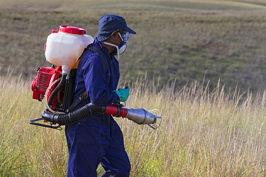Food and Agriculture Organization (FAO) locust control operation Spraying insecticides on the ground to kill Migratory locust (Locusta migratoria capito) nymphs Ground control operations are necessary...  -  Ingo Arndt/ npl