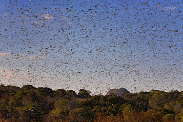 Migratory Locust (Locusta migratoria capito) swarm flying, Isalo National Park, Madagascar August 2013  -  Ingo Arndt/ npl