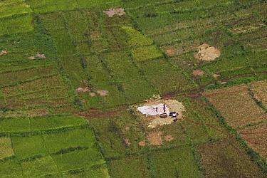 Farmers harvesting rice (aerial photo) Habitat for migratory locust (Locusta migratoria capito), near Miandrivazo, Madagascar, December 2013  -  Ingo Arndt/ npl