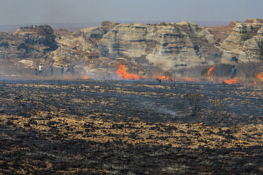 Fire set by farmer to kill migrating locusts (Locusta migratoria capito) Very often the fire gets out of control and destroys many hectares of grassland Near Isalo National Park, Madagascar August 201...  -  Ingo Arndt/ npl