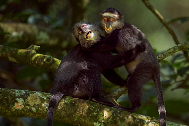 Stulmanns blue monkey (Cercopithecus mitis stuhlmanni) juvenile aged 18-24 months play fighting with a baby aged 9-12 months Kakamega Forest South, Western Province, Kenya  -  Anup Shah/ npl