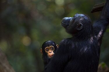 Eastern chimpanzee (Pan troglodytes schweinfurtheii) female Fanni aged 30 years with her baby son Fifty aged 9 months Gombe National Park, Tanzania  -  Anup Shah/ npl