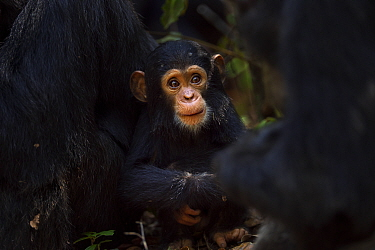 Eastern chimpanzee (Pan troglodytes schweinfurtheii) infant male Nyota aged 8 months playing in the middle of a grooming group Gombe National Park, Tanzania  -  Anup Shah/ npl