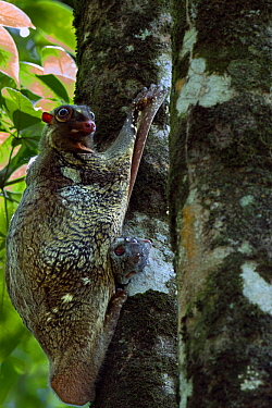 Colugo or Flying Lemur female and baby clinging to a tree (Cynocephalus variegatus) Bako National Park, Sarawak, Borneo, Malaysia  -  Anup Shah/ npl