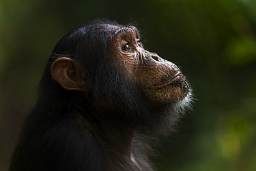 Eastern chimpanzee (Pan troglodytes schweinfurtheii) adolescent male Tarzan aged 11 years Gombe National Park, Tanzania  -  Fiona Rogers/ npl