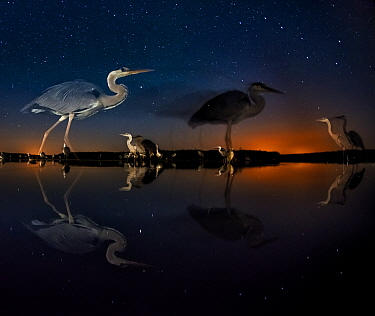 Herons at night on Lake Csaj, Kiskunsag National Park, Hungary Winner of the Birds category, Wildlife Photographer of the Year Competition 2014  -  Bence Mate/ npl