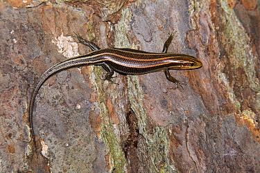 Five-lined Skink (Eumeces fasciatus) Jasper County, Texas, USA May  -  John Abbott/ NPL