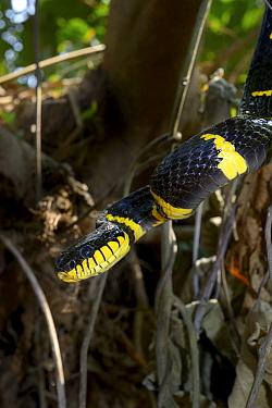 Gold-ringed cat snake (Boiga dendrophila dendrophila) Malaysia  -  Daniel Heuclin/ npl