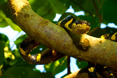 Gold-ringed cat snake (Boiga dendrophila dendrophila) in tree branch, Malaysia  -  Daniel Heuclin/ npl