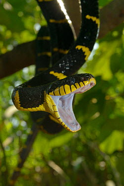 Gold-ringed cat snake (Boiga dendrophila dendrophila) in tree with mouth wide open, Malaysia  -  Daniel Heuclin/ npl
