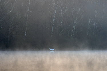 Great egret (Ardea alba) on misty lake with wings outstretched, Vosges, France, March  -  Fabrice Cahez/ npl