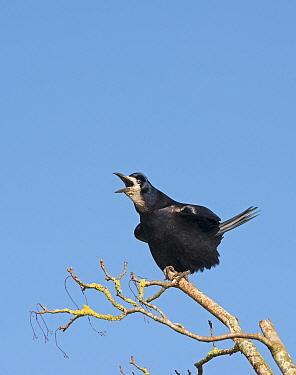 Rook (Corvus frugilegus) calling, Norfolk, February  -  David Tipling/ npl