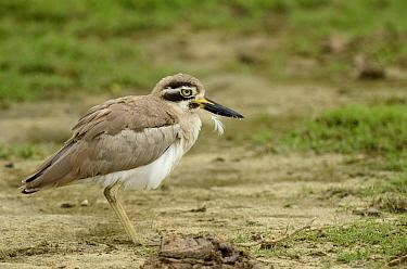 Great thick-knee (Esacus recurvirostris), Yala National Park, Sri Lanka  -  Denis Huot/ npl