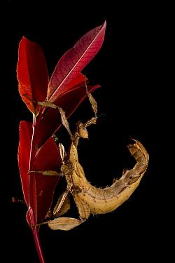 Macleays Spectre (Extatosoma tiaratum) captive at the University of Texas  -  John Abbott/ NPL