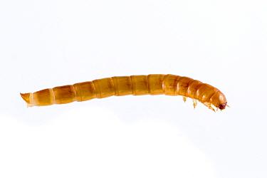 Darkling Beetle (Tenebrio molitor) late instar larva, captive, Austin, Travis County, Texas, USA  -  John Abbott/ NPL