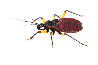 Whitespotted Assassin Bug (Platymeris biguttatus) late instar, captive, Austin, Travis Co, Texas, USA  -  John Abbott/ NPL