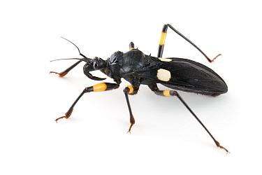 Whitespotted Assassin Bug (Platymeris biguttatus) captive, Austin, Travis Co,Texas, USA  -  John Abbott/ NPL