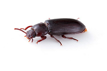 Darkling Beetle (Tenebrio molitor) captive, Austin, Travis County, Texas, USA  -  John Abbott/ NPL