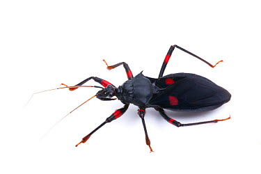 Redspotted Assassin Bug (Platymeris laevicollis) captive at Unviersity of Texas Insect Collection  -  John Abbott/ NPL