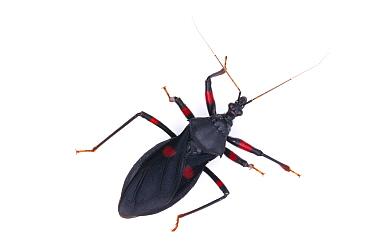 Redspotted Assassin Bug (Platymeris laevicollis) captive at University of Texas Insect Collection  -  John Abbott/ NPL