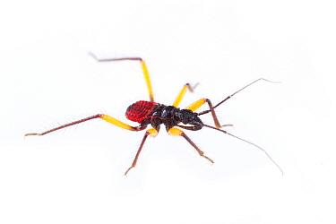 Whitespotted Assassin Bug (Platymeris biguttatus) early instar, captive, Austin, Travis Co, Texas, USA  -  John Abbott/ NPL