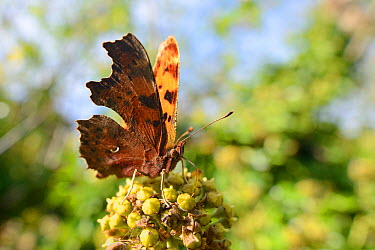 Comma butterfly (Polygonia c-album) feeding on ivy flowers (Hedera helix) in garden, Wiltshire, UK, October  -  Nick Upton/ npl