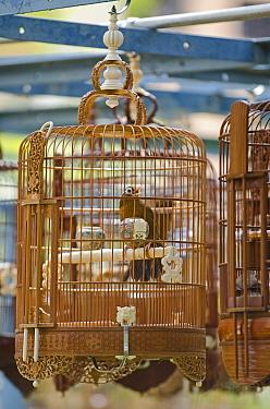 Chinese hwamei (Garrulax canorus) singing in cage, in suburb of Singapore, July 2011  -  David Tipling/ npl