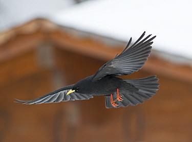 Alpine Chough (Pyrrhocorax graculus) in flight outside chalet, Bernese Alps, Switzerland  -  David Tipling/ npl