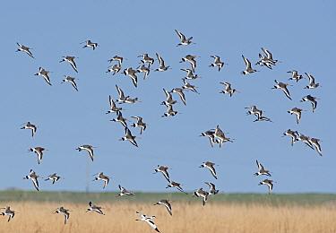 Black-tailed Godwits (Limosa limosa) over scrape, Cley Marshes Reserve, Norfolk, England, UK March  -  David Tipling/ npl