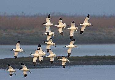 Avocets (Recurvirostra avosetta) in flight, Cley Marshes Reserve, Norfolk, England, UK, March  -  David Tipling/ npl