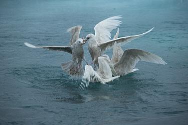 Icelandic gulls (Larus glaucoides) in feeding frenzy, Jokulsarlon, Iceland, May  -  Charlie Summers/ npl