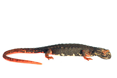 Northern spectacled salamander (Salamandrina perspicillata) against white background, Italy, April Controlled conditions  -  Bert Willaert/ npl