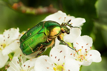 Rose chafer beetle (Cetonia aurata) on blossoms, Lancashire, UK May  -  Chris Mattison/ npl