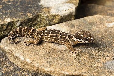 Barnards thick-toed gecko (Pachydactylus barnardi), Springbok, Northern Cape (Namaqualand), South Africa April  -  Chris Mattison/ npl