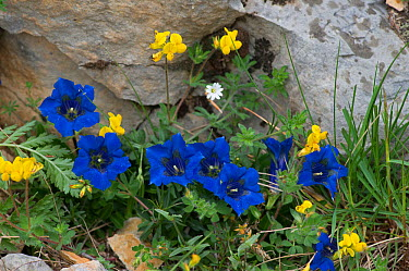 Trumpet gentian (Gentiana acaulis), Provence, France, May  -  Adrian Davies/ npl
