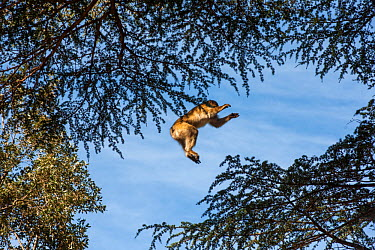 Barbary macaque (Macaca sylvanus) jumping between trees in the cedar forests of the Middle Atlas Mountains, Morocco  -  Pedro Narra/ npl