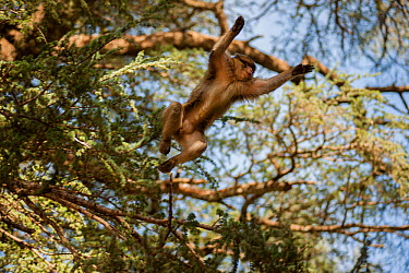 Looking up at Barbary macaque (Macaca sylvanus) leaping from a tree in the cedar forests of the Middle Atlas Mountains, Morocco  -  Pedro Narra/ npl