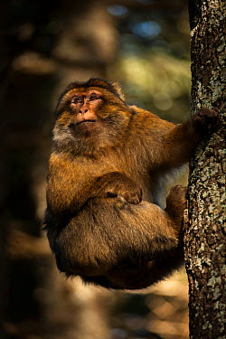 Barbary macaque (Macaca sylvanus) climbing a tree in the cedar forests of the Middle Atlas Mountains, Morocco  -  Pedro Narra/ npl