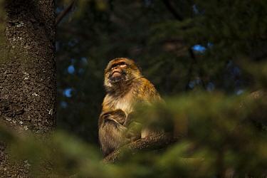 Barbary macaque (Macaca sylvanus) sat in a cedar tree, Middle Atlas Mountains, Morocco  -  Pedro Narra/ npl
