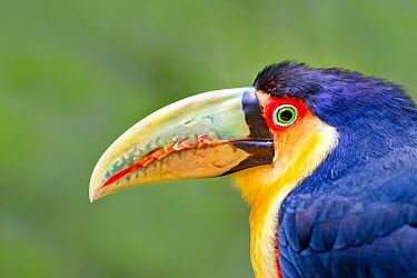 Green billed toucan (Ramphastos dicolorus), Brazil, September  -  Angelo Gandolfi/ npl