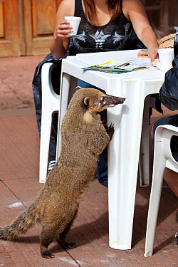 South American coati (Nasua nasua), searching for food amongst tourists Iguazu falls, Brazil, Argentina  -  Angelo Gandolfi/ npl