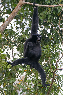 Hoolock gibbon (Hoolock hoolock) male, Assam, India  -  Bernard Castelein/ npl