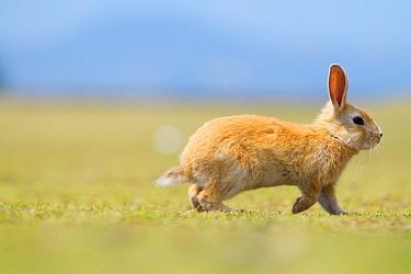 Feral domestic rabbit (Oryctolagus cuniculus) running, Okunojima Island, also known as Rabbit Island, Hiroshima, Japan  -  Yukihiro Fukuda/ npl