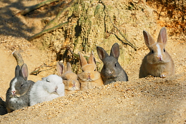 Feral domestic rabbit (Oryctolagus cuniculus) babies resting near burrow, Okunojima Island, also known as Rabbit Island, Hiroshima, Japan  -  Yukihiro Fukuda/ npl