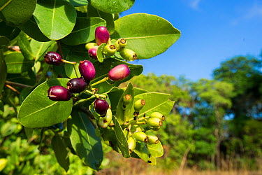 Waterberry fruit (Syzygium cordatum), a major food source for the massive aggregations of straw-coloured fruit bats Kasanka National park, Zambia  -  Nick Garbutt/ npl