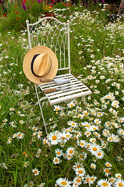 Garden chair and hat amongst ox-eye daises (Leucanthemum vulgare), UK, June  -  Ernie Janes/ npl