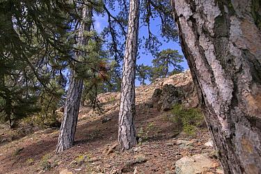 Ancient black pines (Pinus nigra), Troodos National Park, Cyprus, May  -  Ernie Janes/ npl