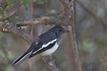 Oriental magpie robin (Copsychus saularis), India  -  Loic Poidevin/ NPL