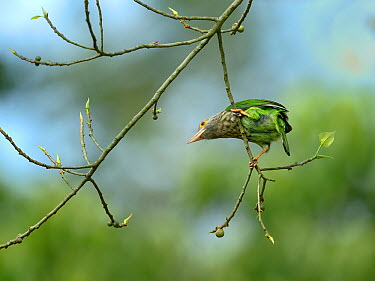Lineated barbet (Psilopogon lineatus), Kaziranga National Park, Assam, India  -  Loic Poidevin/ NPL