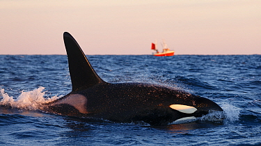 Killer whale, orca (Orcinus orca) male surfacing, local fishing boat in background Andfjorden, close to Andoya, Nordland, Norway, January  -  Espen Bergersen/ npl